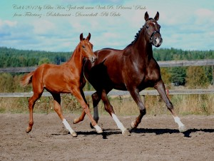 Colt Blue Hors Zack - Fidertanz - Rohdiamant - Donnerhall by Caflin AB
